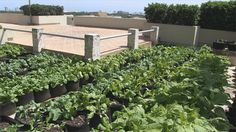 Urban farms growing on Fort Lauderdale roofs | News  - Home
