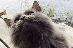 Sunnhordland Cats, Animals, Gatos, Animales, Kitty Cats, Animaux, Cat, Animal, Animais