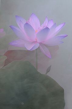 Lotus Flower | Flickr - Photo Sharing!