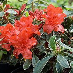 Azalée japonaise panachée persistante rouge - Azalea japonica 'Hot shot Variegata'