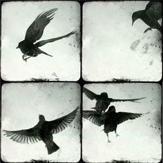 "Birds in flight - four 5""x5"" prints"