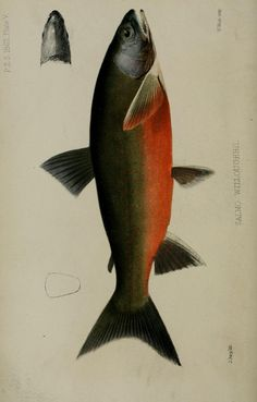 1862 - Proceedings of the Zoological Society of London. - Biodiversity Heritage Library