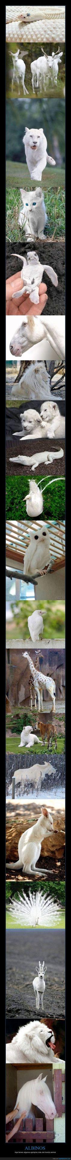 ALBINOS - Aquí teneis algunos ejemplos más del mundo animal