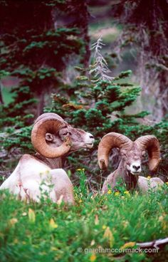 Bighorn sheep, Glacier National Park, Montana, USA. Stock Photo