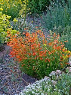 If you have hot, dry conditions and need lots of color, 'Luminous' penstemon won't disappoint. Clouds of flaming-orange flowers light up the garden's floor in bright morning and afternoon light. Hummingbirds flock to this Western U.S.-native perennial, which thrives through drought without missing a beat. As a rabbit-proof plant, it's perfect for edging out beds and borders for ribbons of shiny color. Plant Name: Penstemon pinifolius 'Luminous' Growing Conditions: full sun Size: 8 inches…