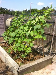 1000 Images About Growing Cucumbers On Pinterest