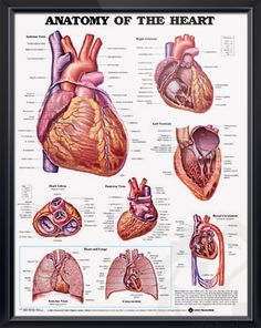 Anatomy of The Heart poster shows anterior, posterior and superior views of the heart with ventricles. Cardiology chart for doctors and nurses.