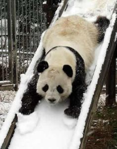 Panda sledding #snow #winterwhite #udderlysmooth