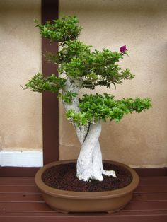JPB/Bonsai Collection | Japanese Friendship Garden