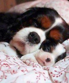 Bed time little one....shhhhhh Love Pet, I Love Dogs, Puppy Love, King Charles Spaniel, Cavalier King Charles, Funny Cute, Pet Dogs, Doggies, Chihuahua
