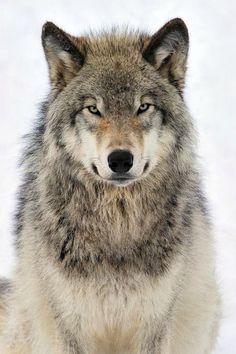 99 потрясающих портретов животных, волк