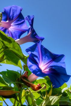 Morning Glories | Flickr - Photo Sharing!