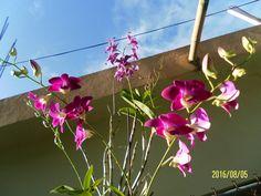 Mis bellas  orquideas.