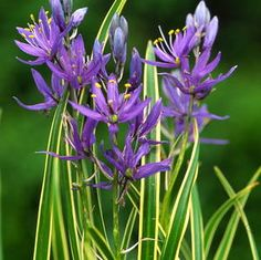 CAMASSIA QUAMASH 'BLUE MELODY'  from Secret Garden Growers