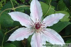 'Lincoln Star' Clematis is a beautiful variety that produces large vibrant blooms of pale rosy pink with a deep carmine bar. The petals open wide and flat to reveal attractive wine-red anthers.