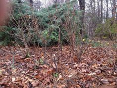 Polar Vortex means a hard prune is in order for some roses. an article from the Fine Gardening rose expert