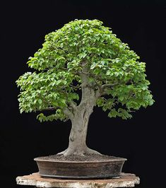 Bonsai Beech, What an awesome specimen. Looks just like the huge mature Beech in miniature! Bonsai Tree Types, Bonsai Plants, Bonsai Garden, Bonsai Ficus, Succulents Garden, Air Plants, Cactus Plants, Irrigation, Plantas Bonsai