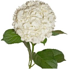 Sam's Club - Jumbo Hydrangeas - White - 12 Stems