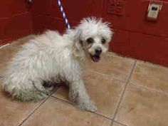 TERRIFIED MALTIPOO NEEDS PLEDGES AND RESCUE. LABELED FEARFUL. A4800519 I don't have a name yet and I'm an approximately 3 year old female chihuahua sh. I am not yet spayed. I have been at the Downey Animal Care Center since February 14, 2015. I will be available on February 19, 2015. You can visit me at my temporary home at D218. https://www.facebook.com/photo.php?fbid=815483061865361&set=pb.100002110236304.-2207520000.1424181950.&type=3&theater