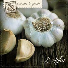 AGLIO. L'aglio può vantare infatti benefiche proprietà #antiossidanti e agire favorevolmente sul metabolismo dei #grassi, aiutandoci a mantenere la regolarità della #pressione sanguigna. 9 pastiglie di AGLIO-T del Dr. Giorgini contengono in media 3,5 g di aglio essiccato, equivalente a 2 spicchi belli grandi! http://www.drgiorgini.it/index.php/seriaglio40g-drg-aglio-t-40-g-pastiglie