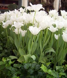 White tulips and ivy...two things I love!