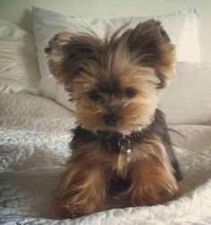 Yorkshire Terrier Big The many things we admire about the Sprightly Yorkie Puppies Baby Yorkie, Teacup Yorkie, Teacup Puppies, Yorkie Puppy, Mini Yorkie, Pomeranian Dogs, Tiny Puppies, Cute Puppies, Cute Dogs