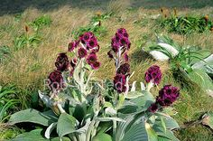 Unusual Megaherb daisy hybrid between Pleurophyllum criniferum and Pleurophyllum speciosum, near Mount (Mt) Azimuth. Compositae, Campbell Island, NZ Sub Antarctic District, NZ Sub Antarctic Region, New Zealand (NZ) stock photo.
