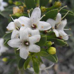 Myoporum parvifolium 'Fine Leaf'