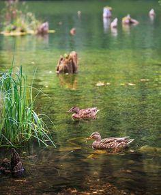 Lacul Roșu by Sorin Onişor Landscapes, World, Amazing, Travel, Animals, Natural Phenomena, Voyage, Animales, Scenery