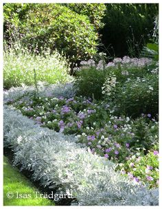 Dusty miller and soft colors Isas trägård - Isa's garden White Gardens, Small Gardens, Outdoor Gardens, Ficus Pumila, Dusty Miller, Home Landscaping, Front Yard Landscaping, Flowers Perennials, Planting Flowers