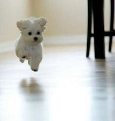 Havanese are so much fun to watch as they run and play