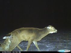 never what u want to see on ur trail cam