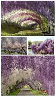 Japanese Wisteria Tunnel These photos were taken at the Kawachi Fuji Garden, about a 4 hour drive from Tokyo.