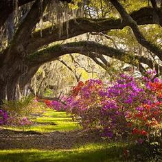 A line of oak trees arch over azaleas in bloom in #Charleston, #SouthCarolina. Check out our #TravelGuide to the American #South on the Andrew Harper blog, #TheHarperWay.