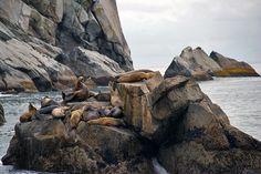 Steller sea lions relaxing in Seward, AK. Photo by ©Sue Lee.