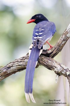 Red-billed Blue Magpie (Urocissa erythroryncha) - found in the northern Indian sub-continent, the western Himalayas, east into Myanmar, Cambodia, Laos and Vietnam. Exotic Birds, Colorful Birds, Pretty Birds, Beautiful Birds, Wild Animals Pictures, The Caged Bird Sings, Jay Bird, Blue Bird, Red Bill