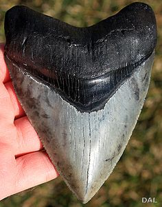 Megalodon: The World's Largest Shark by Critter Seeker, via Flickr