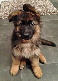 floppy ears. german shepherd puppy fluffy black cute dog animals baby big paws