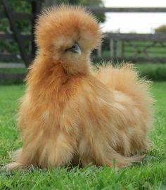 Nunca en mi vida e visto ésta raza de  pollo :))