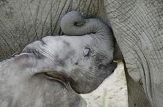 Afrikanischer Elefant – Tiergarten Schönbrunn