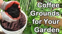 Coffee grounds can be a great catalyst for your garden. Adding itcanhelp to enrich the soil with nutrients that plants need without having to buy fertilizers and soil amendments. It's just as safe as any well known fertilizer in the market with proper level of ingredients. With 10.31 nitrogen/cy. yd. coffee grounds are an excellent …
