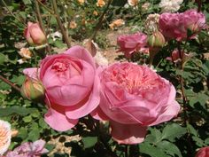 Roses Boscobel