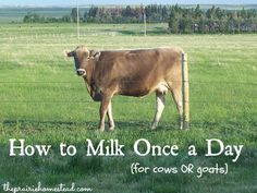 How to Milk Once a Day (cows and goats)