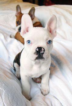 french bulldog- LOOK AT THOSE BABY BLUES!