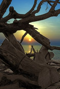 Beautiful view through the driftwood of the setting sun gracefully skimming across the water!