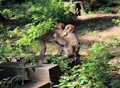 Der Affenberg - besuche die Japanmakaken in Kärnten! Gleich neben der Burg Landskron am Ossiachersee Kangaroo, Animals, Dog Garden, Animales, Baby Bjorn, Animaux, Animal, Animais