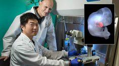 Un equipo internacional de científicos asegura haber creado una «quimera» entre un ser humano y ...