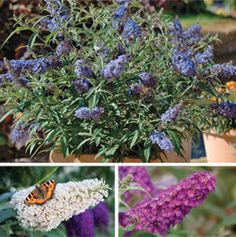 These little buddleja plants are a butterfly magnet and smell wonderful in pots on your patio. Plants For Small Gardens, Biennial Plants, Garden Inspiration, Garden Ideas, Garden Spaces, Dream Garden, Shrubs, Perennials, Planting Flowers