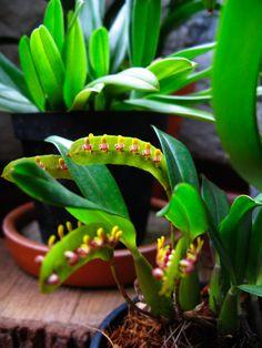 Bulbophyllum Phalaenopsis | Bulbophyllum falcatum | Jardim Therapy - Brazil  Orchids