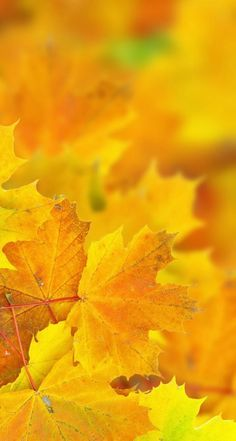 Beautiful Sugar Maple Fall Leaves - We had a Sugar Maple in our front yard growing up. The leaves were so beautiful. Autumn Day, Autumn Leaves, Golden Leaves, Mabon, Seasons Of The Year, Yellow Leaves, Fall Pictures, Mellow Yellow, Color Yellow